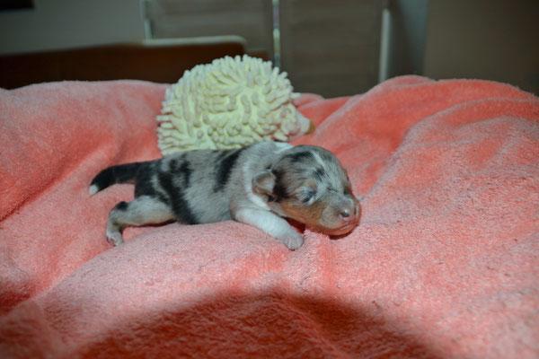 Drittgeborene: Blue merle Hündin mit einem Startgewicht von 227 g ...