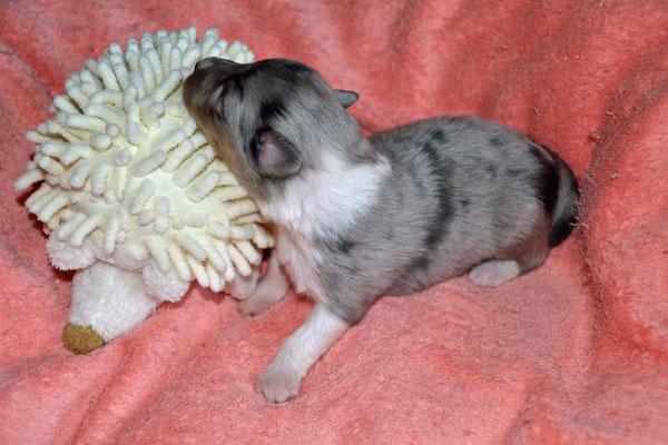 Zweitgeborene: Blue merle Hündin mit einem Startgewicht von 203 g....