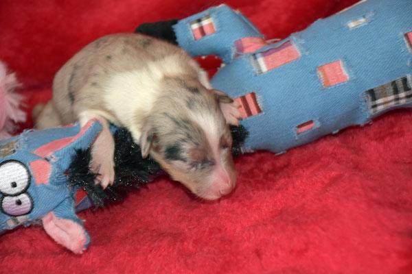 Blue merle Hündin, Geburtsgewicht 285 g