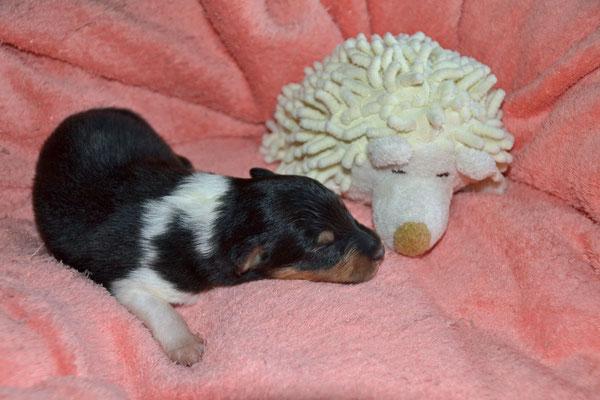 Der Viertgeborene und momentan der Kleinste: Tricolour Rüde mit einem Startgewicht von 220 g ...