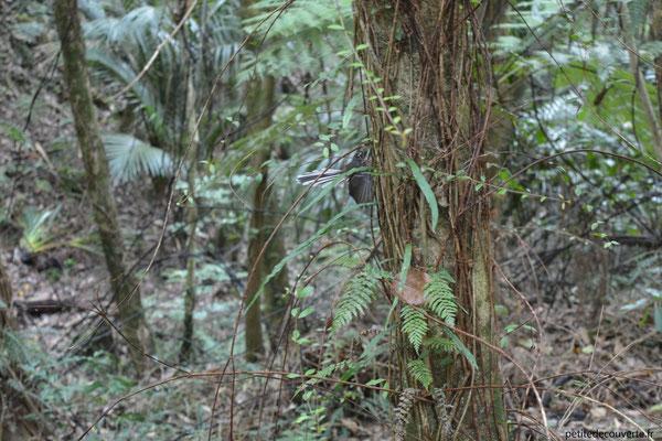 fantail Nouvelle-Zélande