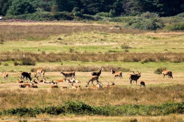 Hirschrudel in der Heidelandschaft von Blavand
