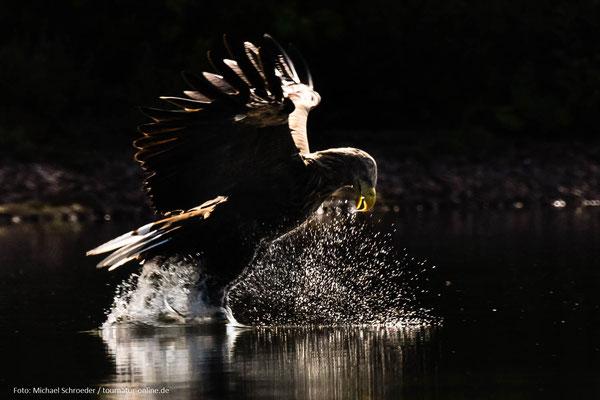 Seeadler, beim Versuch Beute im See zu machen