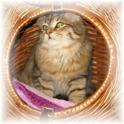 """"""" Sibirische Waldkatze """" - eine wunderschöne Katzenrasse"""
