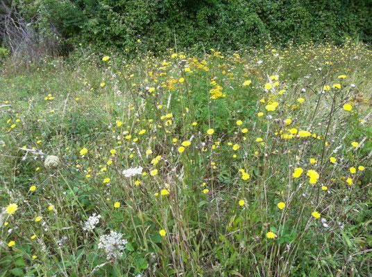 Les graminées et les fleurs des champs fin Août