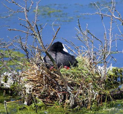 Foulque Macroule et ses oisillons (Fulica atra - Eurasian Coot) - Parc ornithologique du Marquenterre - St Quentin en Tourmon - Baie de Somme - Picardie - France