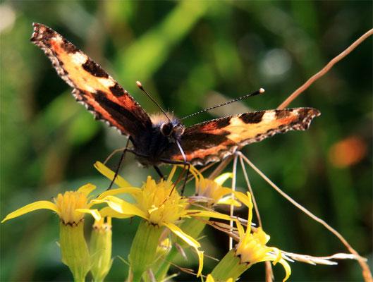 """Papillon (lépidoptère) """"Petite tortue - Aglais urticae"""""""