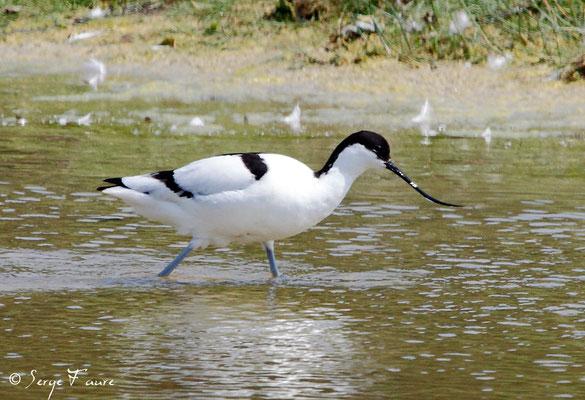 Avocette élégante (Recurvirostra avosetta - Pied Avocet) - Parc ornithologique du Marquenterre - St Quentin en Tourmon - Baie de Somme - Picardie - France