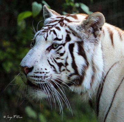 Tigre blanc (Panthera tigris)