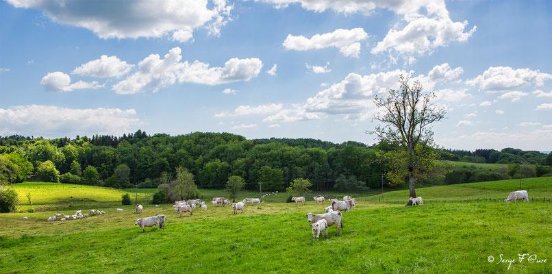 Veaux et vaches Charolaises à Briffon - Auvergne - France