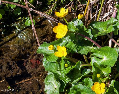Renoncule âcre (Ranunculus acris) - floraison avril