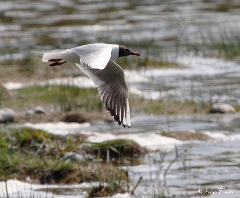 Mouette rieuse ( Chroicocephalus ridibundus - Black-headed Gull) - Parc ornithologique du Marquenterre - St Quentin en Tourmon - Baie de Somme - Picardie - France