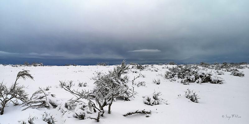 Genets dans la neige  vus des hauts de Murat - Murat le Quaire - Massif du Sancy - Auvergne - France