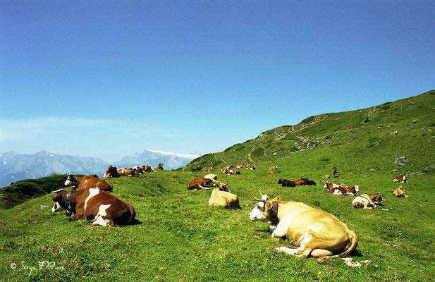 Vaches Montbéliardes et Tachetée suisse - Val d'Hérens - Le Valais - Suisse
