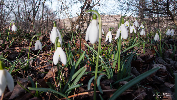 Galanthus nivalis - perce neige - Massif du Sancy - Auvergne - France
