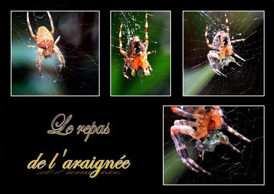 Le repas de l'araignée