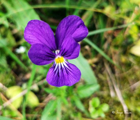 La Pensée sauvage ou Pensée tricolore (Viola tricolor) est une espèce de plantes herbacées, commune dans toute l'Europe, de la famille des Violaceae. Elle est recherchée pour la délicatesse de sa fleur. C'est l'ancêtre de la pensée cultivée.