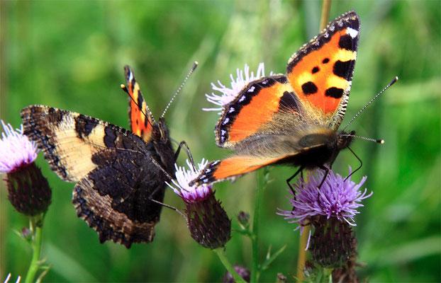 """Papillons (lépidoptère) """"Petite tortue - Aglais urticae"""""""
