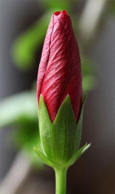 Hibiscus en bouton