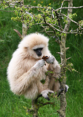 Gibbon - Singe