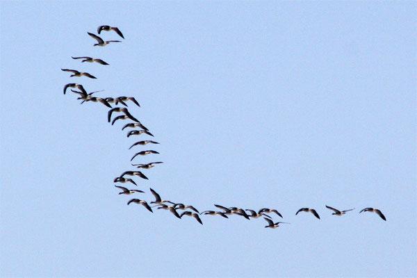 Vol d'oies sauvages en W