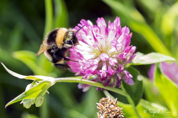 Le bourdon, genre Bombus, sont des insectes sociaux volants de la famille des Apidae