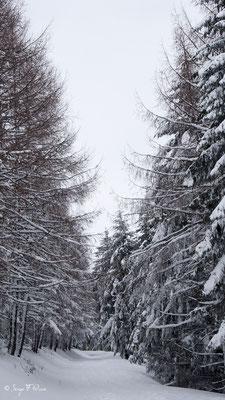Épicéa et Hêtre enneigé (Picea abies et Fagus silvatica)