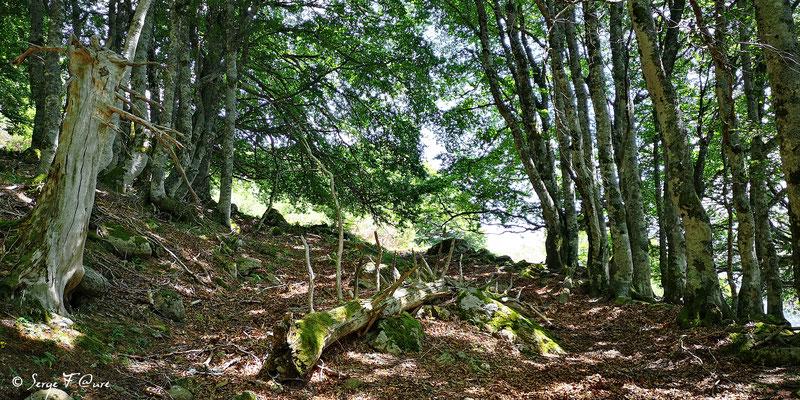Dans la forêt domaniale du Mont Dore - Massif du Sancy - Auvergne - France