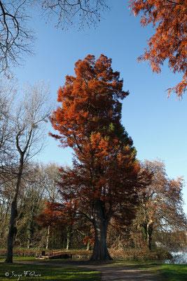 Cyprès chauve (Taxodium distichum) - Parc du château de Rambouillet - Ile de France - Novembre 2011