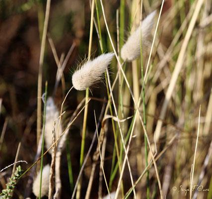 Lagure ovale, appelé aussi gros minet ou queue de lièvre (Lagurus ovatus) - Anciens marais salants à la Sansouïre (Frontignan - Hérault - France)