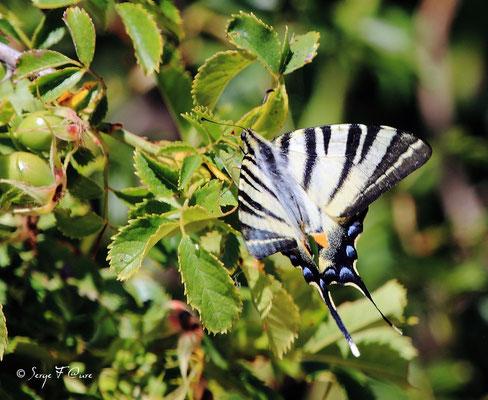 Flambé  P - Iphiclides podalirius - Papillon (lépidoptère)