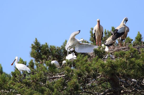 Spatules blanches (Platalea leucorodia - Eurasian Spoonbill) - Parc ornithologique du Marquenterre - St Quentin en Tourmon - Baie de Somme - Picardie - France