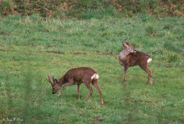 Jeunes chevreuils mâle (Brocard) - Graveron Semerville - Normandie - France