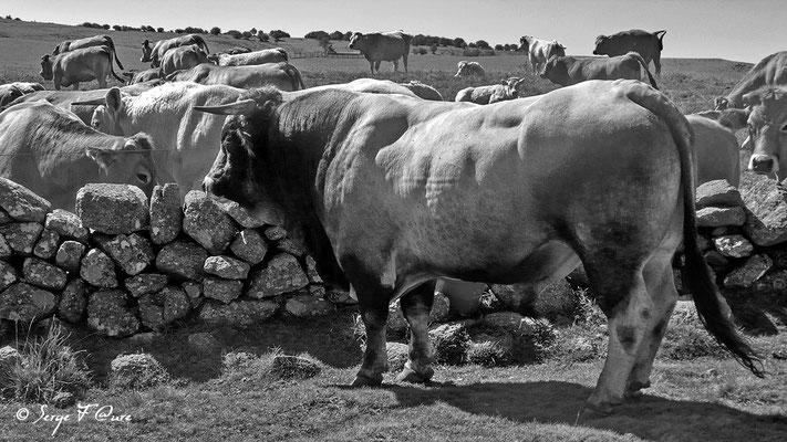 Taureau de race Aubrac sur le plateau de l'Aubrac - France