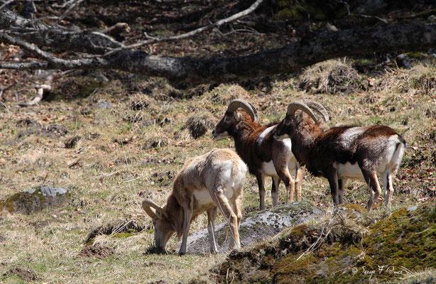 Mouflons mâles au pied du Puy de Sancy - Le Mont Dore - Auvergne - France (Avril 2013)