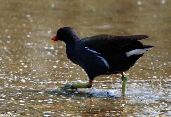 Gallinule poule-d'eau (Gallinula chloropus - Common Moorhen) - Parc ornithologique du Marquenterre - St Quentin en Tourmon - Baie de Somme - Picardie - France