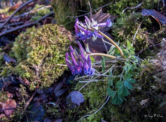 Corydale creuse (Corydalis cava) - floraison mars/avril