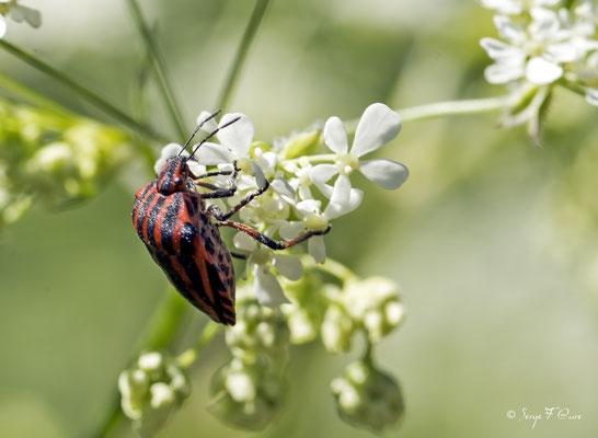 La punaise arlequin, Graphosoma italicum (parfois appelée scutellaire rayée et anciennement nommée Graphosoma lineatum)