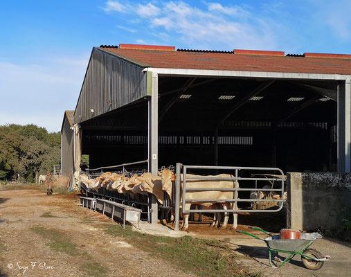 Vaches Gasconnes (Pyrénées) avant la sortie au pré (de Ostabat à St Jean Pied de Port) - France - Sur le chemin de Compostelle