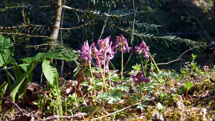 Corydale creuse (Corydalis cava) - floraison mars/avril sur le chemin des - Murat le Quaire - Massif du Sancy - Auvergne - France