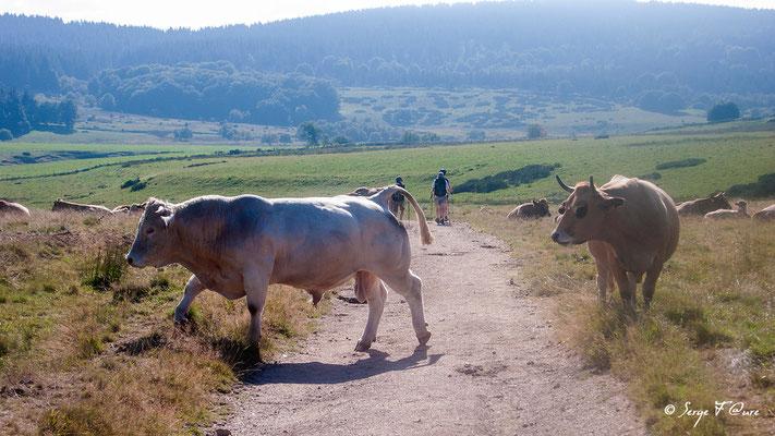 """Taureaux (race Aubrac) en arrivant à """"Le Sauvage"""" - France - Sur le chemin de St Jacques de Compostelle (santiago de compostela) - Le Chemin du Puy ou Via Podiensis (variante par Rocamadour)"""