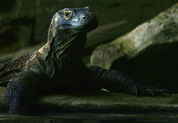 Dragon de Komodo (solarisé)