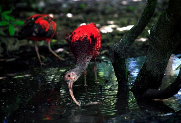 Ibis rouge (Eudocimus ruber)