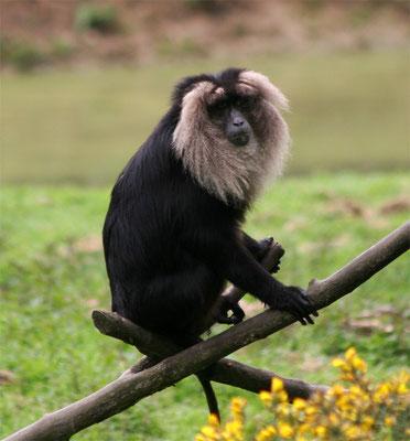 Macaque ouanderou (Macaca silenus)