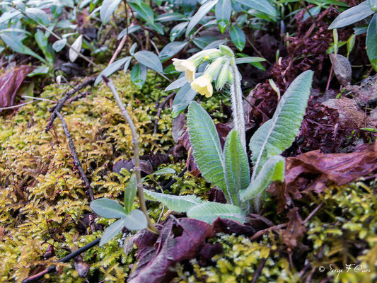 Primevère officinale - Coucou (Primula veris) - floraison avril