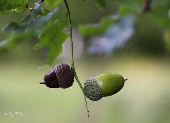 Glands de chêne