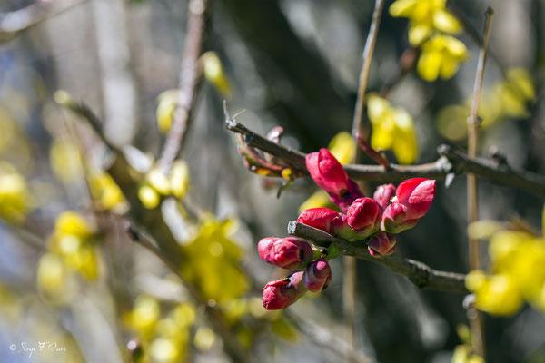 Cognassier du Japon (Chaenomeles japonica) - Floraison mi mars