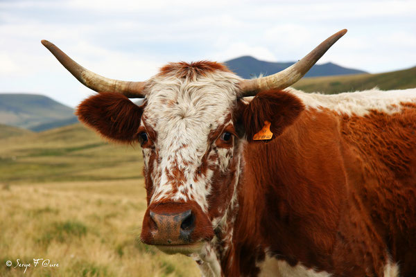 Vache Ferrandaise - Massif du Sancy - Auvergne - France