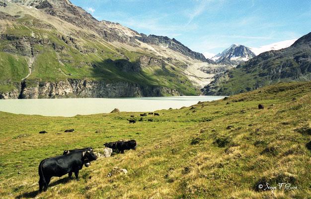 Les Reines d'Hérens - Lac de barrage de la Grande-Dixence (2364m d'altitude) - Val d'Hérens - Le Valais - Suisse