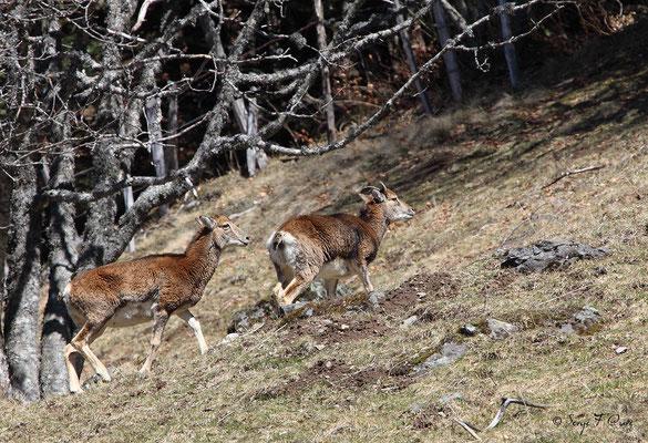 Jeunes mouflons au pied du Puy de Sancy - Le Mont Dore - Auvergne - France (Avril 2013)